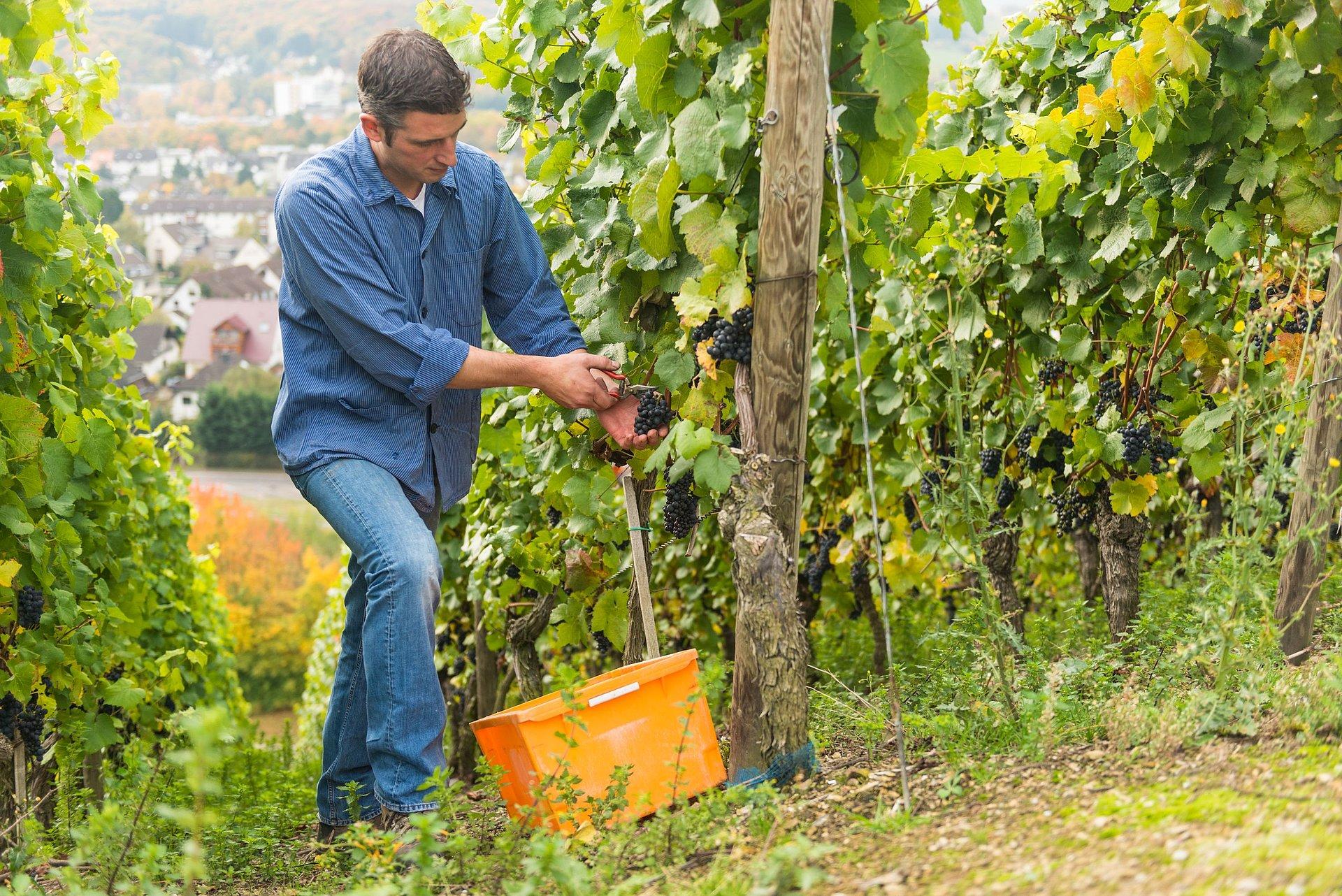 Traubenlese im Herbst, Ahrtal