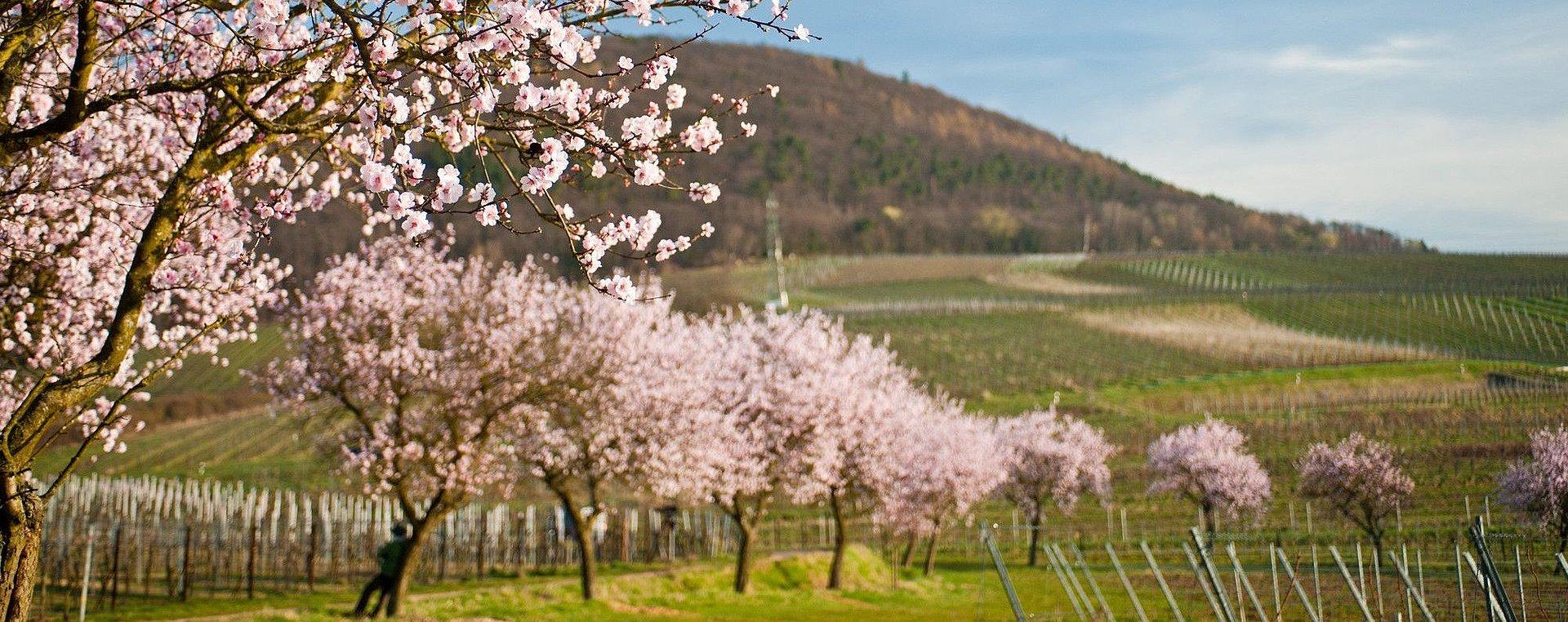 Mandelbäume bei Neustadt an der Weinstraße, Pfalz