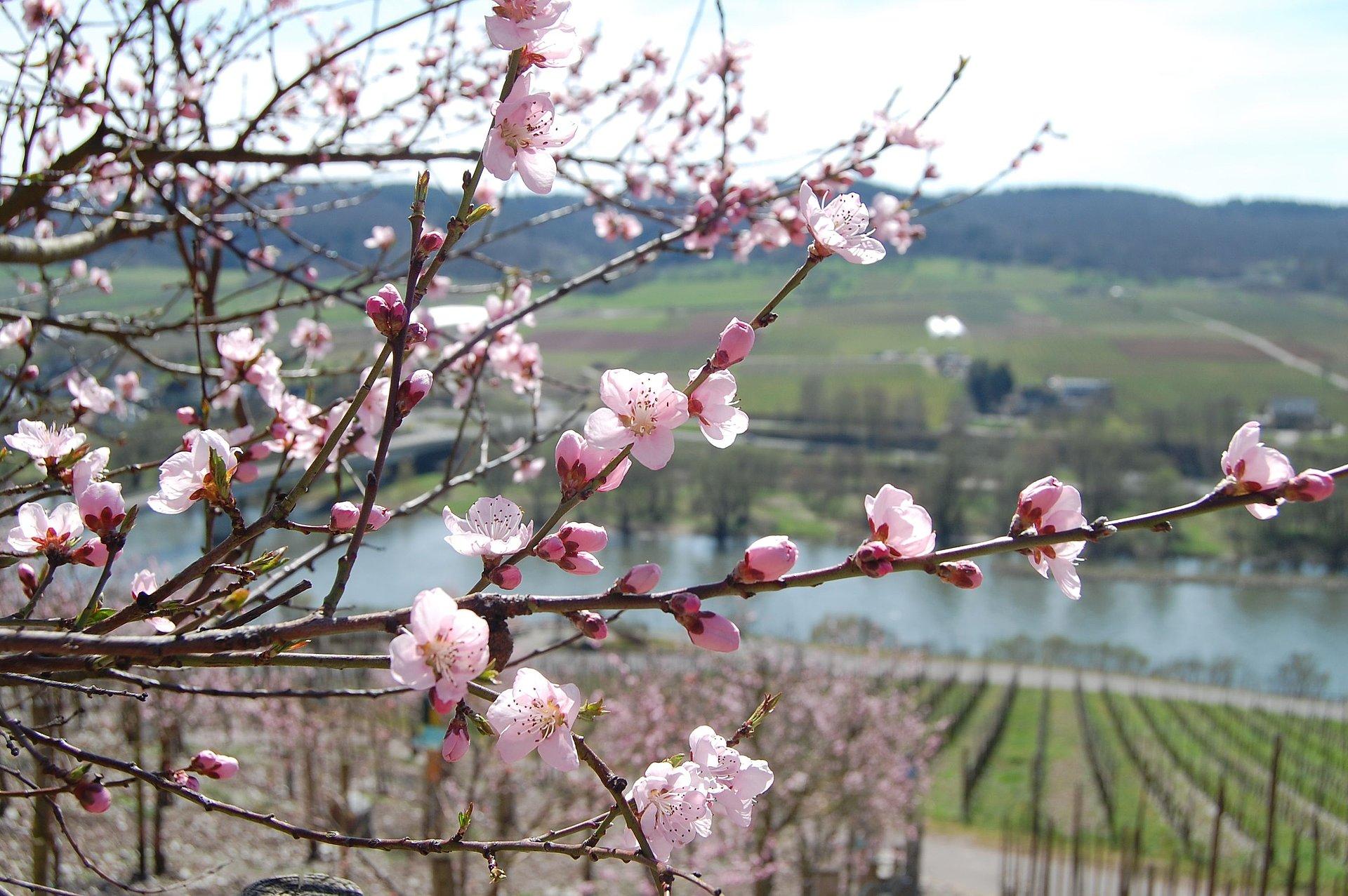 Fructification de pêches de vigne près d'Ürzig, vallée de la Moselle