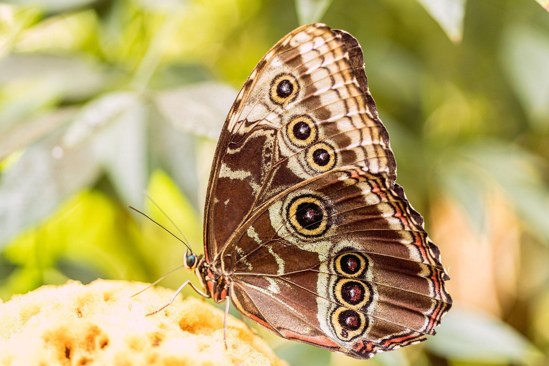 Schmetterling im Schmetterlingsgarten im Schlosspark Sayn, Romantischer Rhein