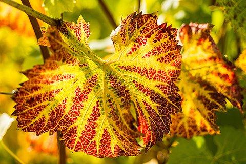 Herbstliche Weinrebe bei Mayschoß, Ahrtal