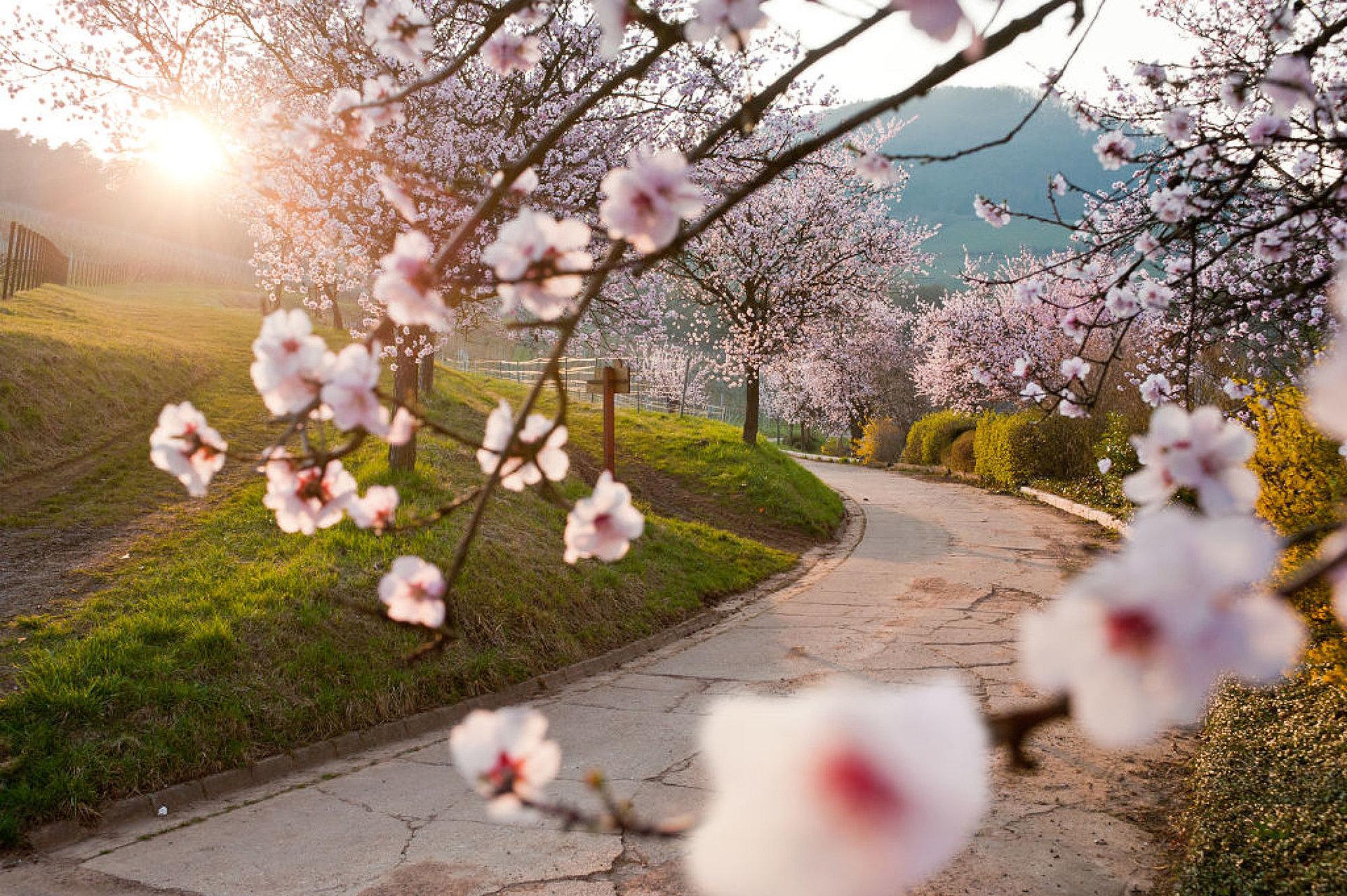 Blühende Mandelbäume, Pfalz