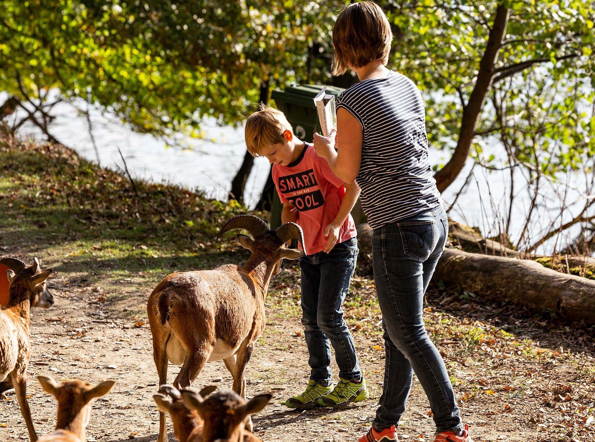 Ziegenbock füttern im Hochwildschutzpark Rheinböllen, Hunsrück