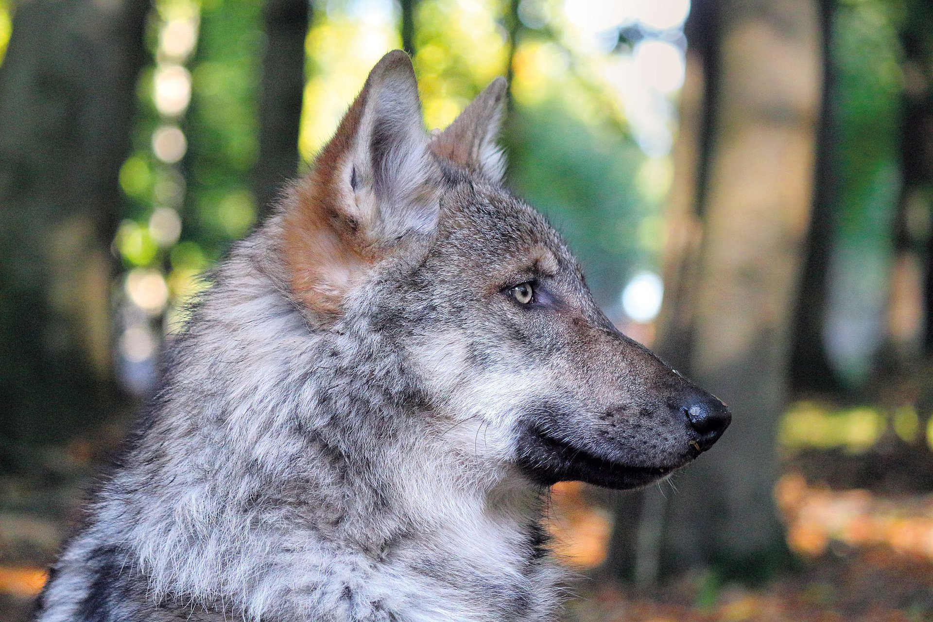 Wolf im Wildfreigehege Wildenburg, Nahe