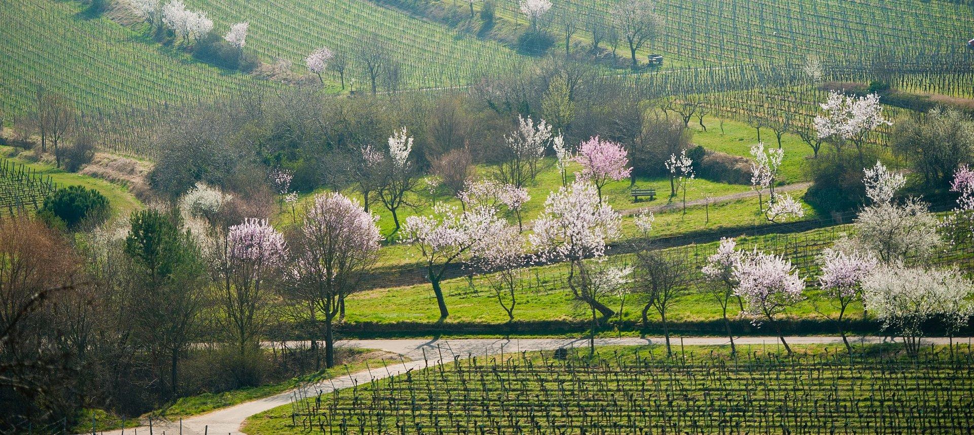 Blühende Mandelbäume bei Gimmeldingen, Pfalz