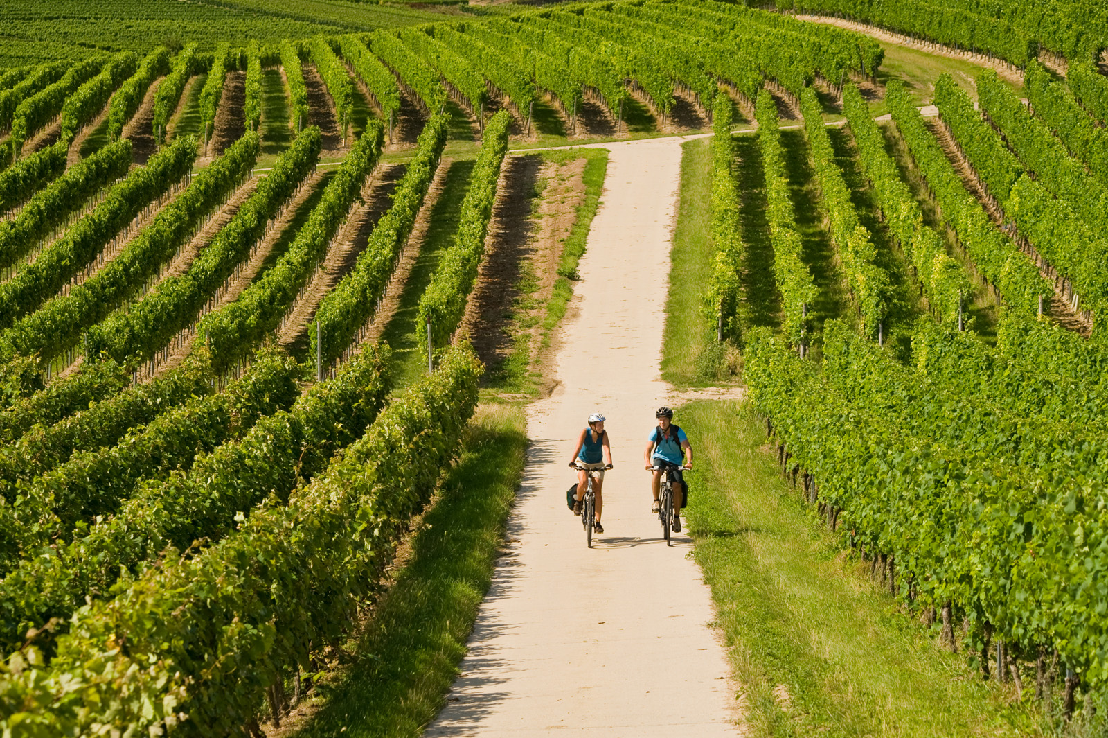 Cyclists in a vineyard landscape, Rhine-Hesse