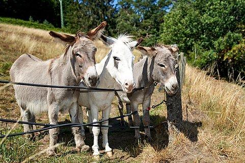 Esel Ferdi, Hugo und Filou
