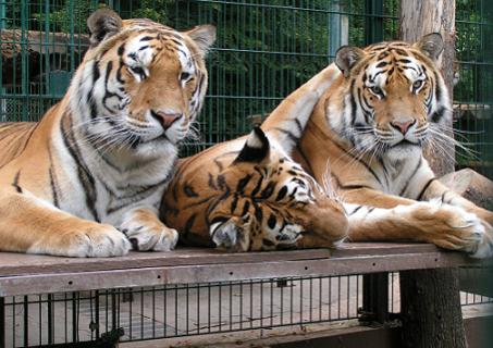 Die Bewohner des Tigergartens.