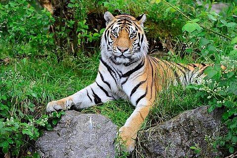 Tiger im Tier-Erlebnispark